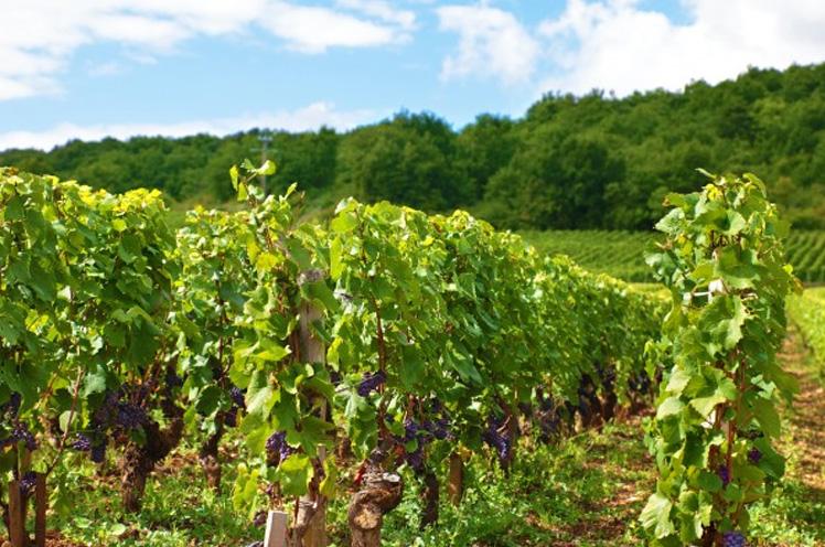 Arranca la vendimia en la provincia de Sevilla: año seco, buenos vinos